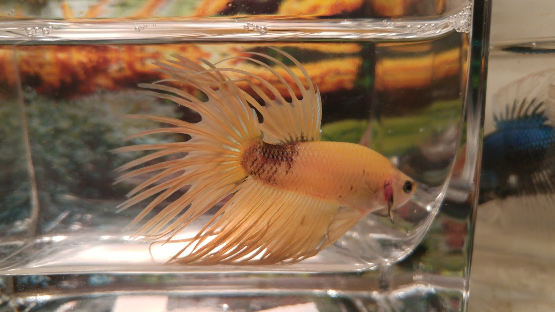 Crowntail betta fish for Betta fish store