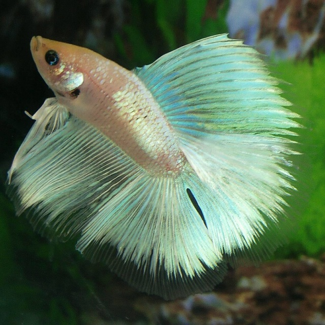 Double tail betta fish for Order betta fish