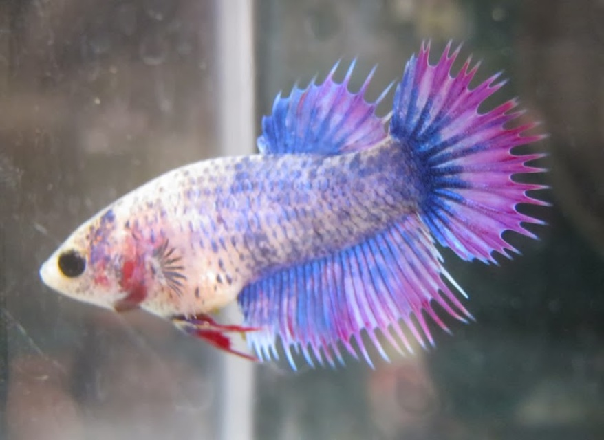 Crowntail Betta Fish - Rena's Fish Store