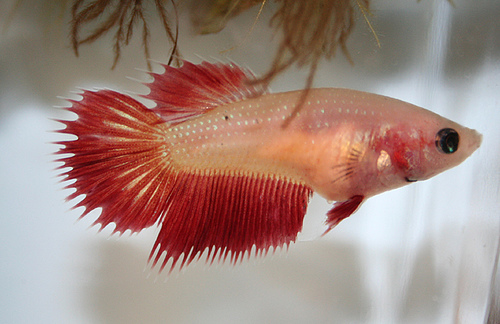 Cambodian crowntail betta female for Pictures of female betta fish