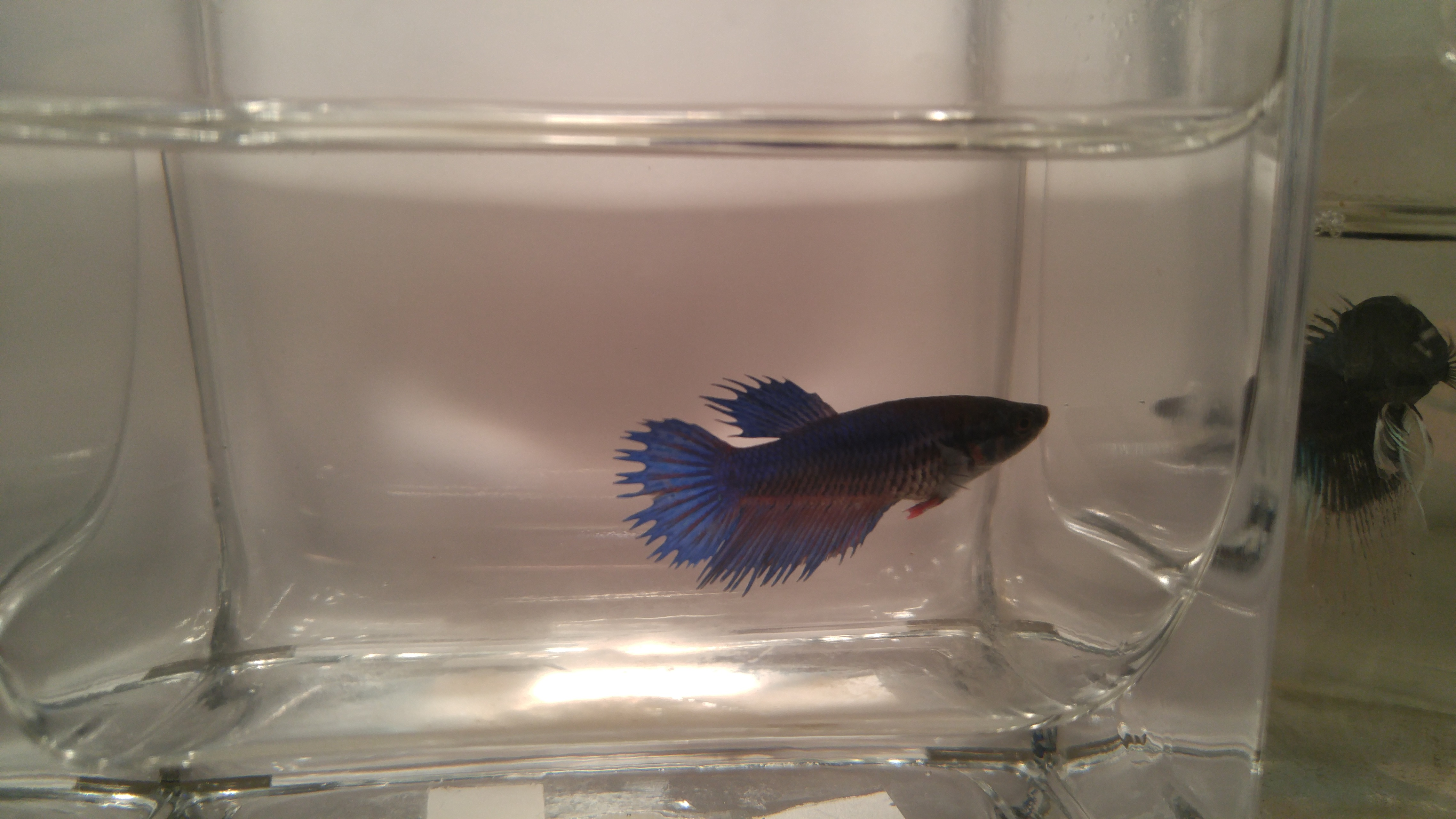 Royal blue crowntail betta female 53 for Betta fish store