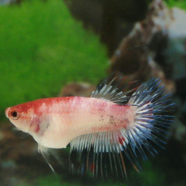 Crowntail betta fish for Order betta fish